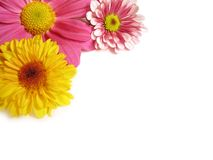 Flower corner - 1. A close-up image of colorful Chrysanthemums, set on a corner, with natural shadows on white background, with copy-space stock image