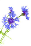 Flower cornflower Stock Photography