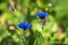 Flower cornflower blue Royalty Free Stock Photos