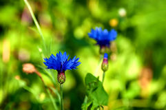 Flower cornflower blue Stock Photography