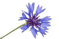 Flower of cornflower, lat. Centaurea, isolated on white backgrou. Nd Stock Image