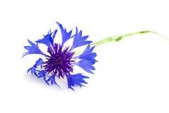 Flower cornflower Stock Photo