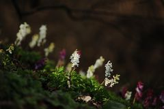 Corydalis cava on spring. This flower Corydalis cava belongs to the first spring flowers Royalty Free Stock Photos
