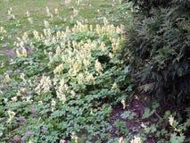 Flower Corydalis (Corydalis bracteata) Royalty Free Stock Photos
