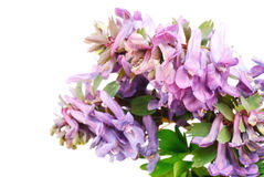 Flower Corydalis halleri Stock Photography