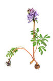 Flower Corydalis halleri with root bulb. Royalty Free Stock Image