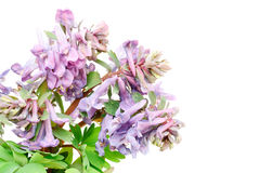 Flower Corydalis halleri . Stock Photography