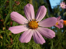 Flower Cosmos bipinnatus ( Cosmos bipinnatus ). The most popular rural flower gardens. It blooms in summer and autumn of taking on beautiful pink color Stock Image