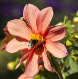Flower Cosmos Bipinnatus with insect Royalty Free Stock Photography