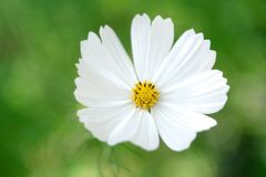 Flower Cosmos Stock Photography