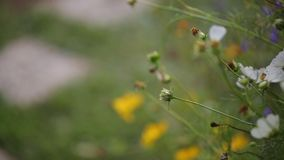 Flower Cosmos stock footage