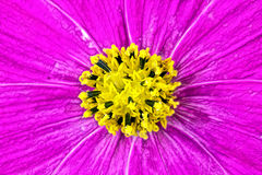 Flower of Cosmos Royalty Free Stock Image
