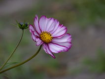 The flower of Cosmos. The flower of pink Cosmos in a garden royalty free stock photography