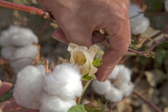 Flower and cotton wool in Uzbekistan. Flower and cotton wool in Taskent, Uzbekistan Royalty Free Stock Photos