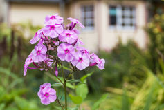 Flower with a country house in the background Stock Photo