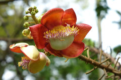 Flower of Couroupita guianensis Stock Photos