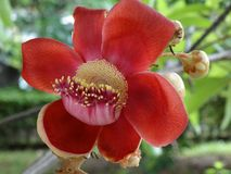 Couroupita guianensis - the cannonball plant Royalty Free Stock Photos