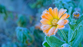 Flower covered with frost. Orange flower covered with frost in the morning Royalty Free Stock Images