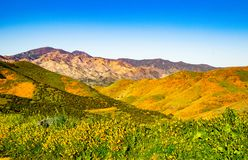 Flower Covered Hills in Contrast to Stark Mountains in Background. Stark Contrast Between Super Bloom and Dry Mountain Slopes at Walker Canyon royalty free stock images