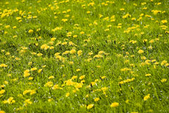 Flower covered meadow Royalty Free Stock Photo