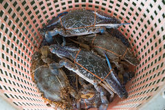 Flower crab, Blue crab in the basket. Fresh Flower crab, Blue crab in the basket Stock Photography