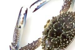 Flower crab, Blue crab, Blue swimmer crab Portunus pelagicus isolated on white background. Thailand stock photo