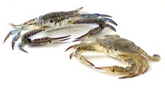 Flower crab, Blue crab, Blue swimmer crab Portunus pelagicus isolated on white background. Thailand stock photography