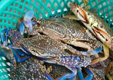 Flower crab or blue crab. Fresh raw flower crab or blue crab in the market, Thailand Royalty Free Stock Photos