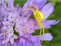 Flower Crab Spider. Yellow flower crab spider on flowers Stock Photo