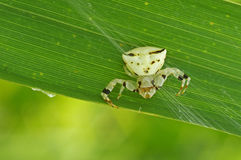 Flower crab spider on grass Royalty Free Stock Image