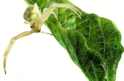 Flower (crab) spider on green leaf Stock Photo