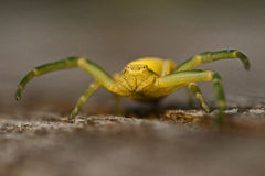 Flower crab spider, Thomisidae Misumena vatia Royalty Free Stock Photos