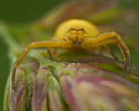 Flower crab spider, Thomisidae Misumena vatia Stock Images