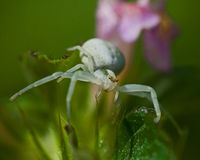 Flower crab spider, Thomisidae Misumena vatia Royalty Free Stock Image