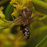 Ground crab spiders Xysticus cristatus female Stock Image