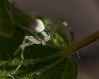 Flower crab spider, Thomisidae Misumena vatia Stock Image