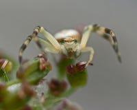 Flower crab spider, Thomisidae Misumena vatia Royalty Free Stock Image