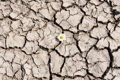 Flower in cracked soil. royalty free stock photography