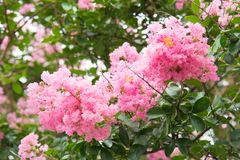 Flower of crape myrtle. This is a photograph of a flower of crape myrtle Stock Photo