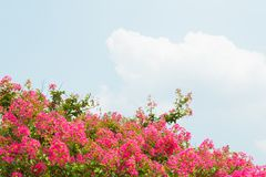 Flower of crape myrtle Stock Image