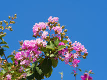 Flower of crape myrtle Stock Photography