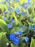 Flower - Creeping Navelwort, Blue-Eyed-Mary Omphalodes verna. This little beauty is a fast grower in your garden. It has several names such as Blue-Eyed-Mary and Royalty Free Stock Image