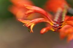 Flower of a Crocosmia paniculata Stock Image