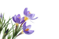 Flower Crocus Tricolor. Beautiful spring flower Crocus Tricolor in the Iris family, macro with narrow focus Royalty Free Stock Image