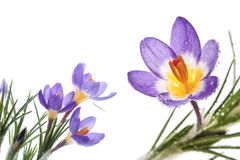 Flower Crocus Tricolor Royalty Free Stock Photography