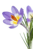 Flower Crocus Tricolor. Beautiful spring flower Crocus Tricolor in the Iris family, macro with narrow focus Stock Images