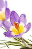 Flower Crocus Tricolor. Beautiful spring flower Crocus Tricolor in the Iris family, macro with narrow focus Royalty Free Stock Photo