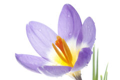 Flower Crocus Tricolor. Beautiful spring flower Crocus Tricolor in the Iris family, macro with narrow focus Royalty Free Stock Photography