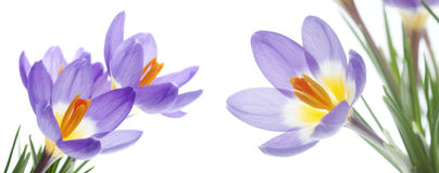 Flower Crocus Tricolor Royalty Free Stock Images