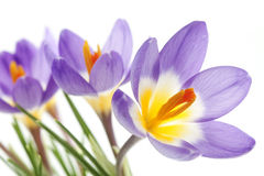 Flower Crocus Tricolor. Beautiful spring flower Crocus Tricolor in the Iris family, macro with narrow focus Royalty Free Stock Images